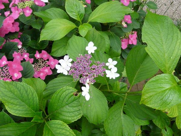 Hydrangea macrophylla (Thunb.) Ser. 'Möwe'