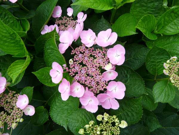 Hydrangea macrophylla (Thunb.) Ser. 'Nizza'