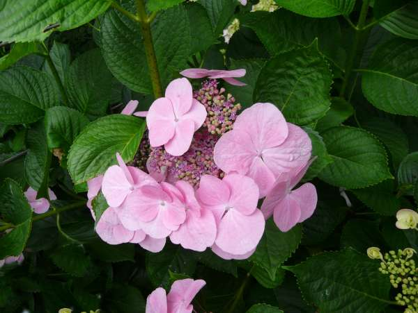 Hydrangea macrophylla (Thunb.) Ser. 'Miss Blanche'