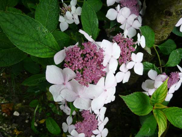 Hydrangea macrophylla (Thunb.) Ser. 'Grant's Choice'
