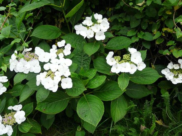 Hydrangea macrophylla (Thunb.) Ser. 'Bachstelze'