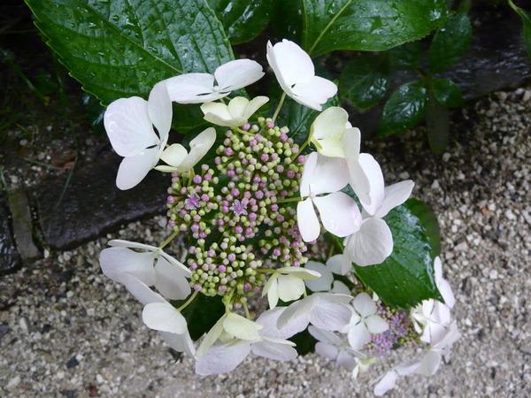 Hydrangea macrophylla (Thunb.) Ser. 'Beauté Vendômoise'