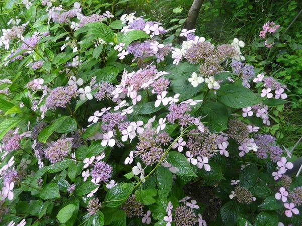 Hydrangea serrata (Thunb.) Ser. 'Intermedia'