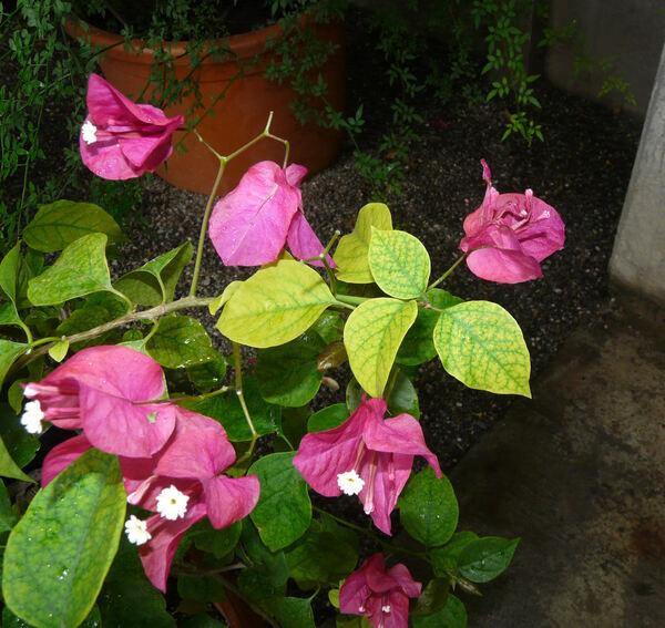 Bougainvillea glabra Choisy 'Sanderiana'
