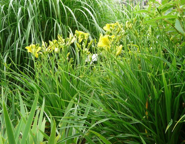 Hemerocallis 'Green Flutter'
