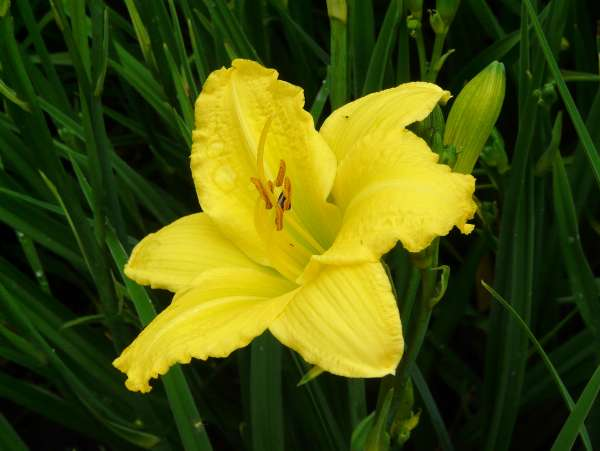 Hemerocallis 'Green Flutter'