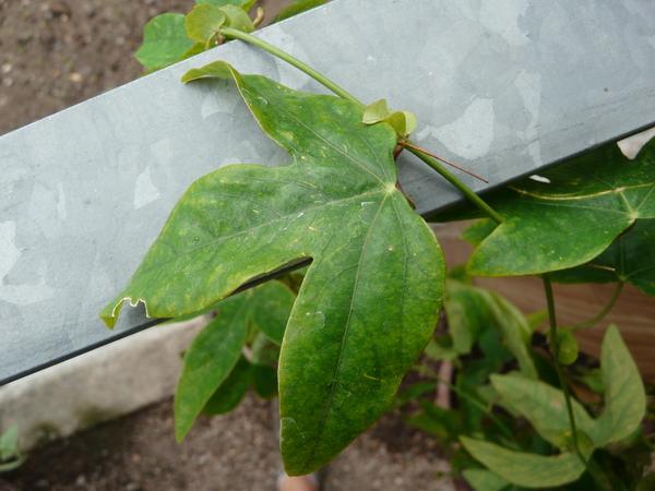 Passiflora coerulea L. 'Kaiserin Eugenie'