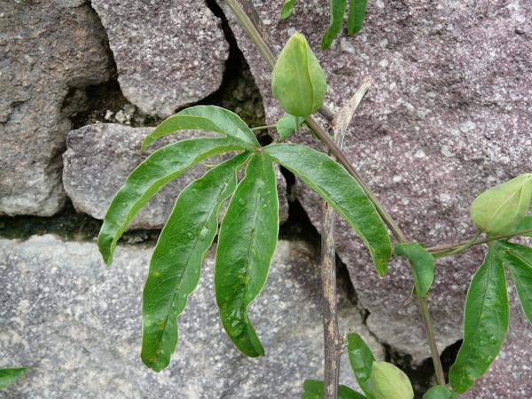 Passiflora coerulea L. 'Constance Elliot'