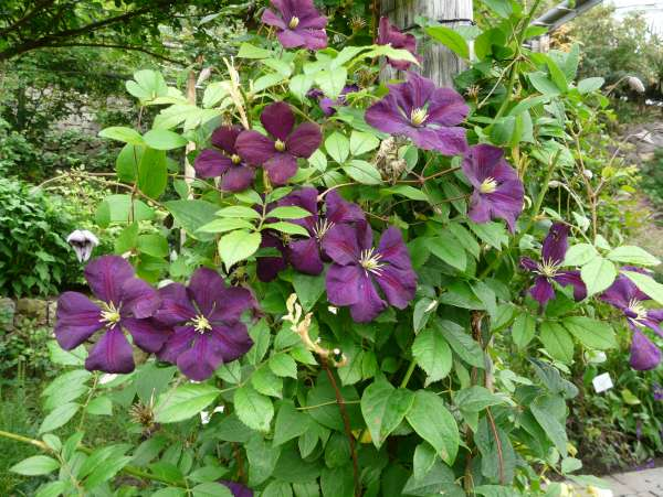Clematis viticella L. 'Etoile Violette'