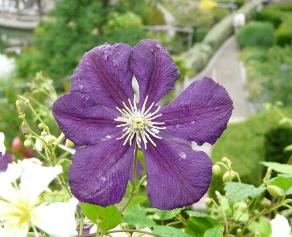 Clematis viticella L. 'Blue Belle'