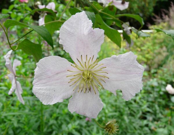 Clematis viticella L. 'Entel'