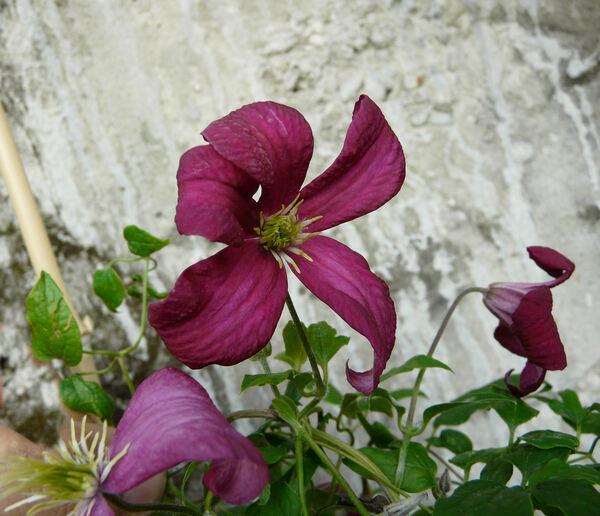 Clematis viticella L. 'Madame Julia Correvon'