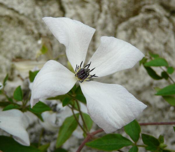 Clematis viticella L. 'Alba Luxurians'