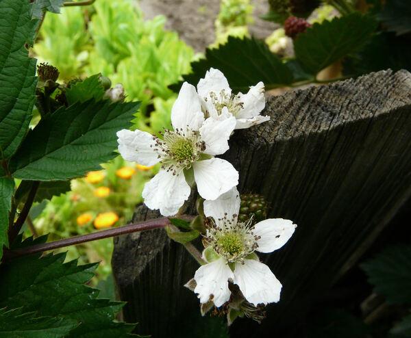 Rubus canadensis L.
