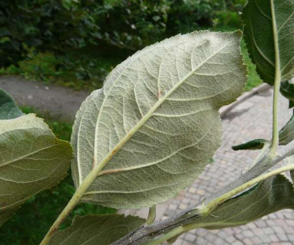 Malus domestica (Borkh.) Borkh. 'Roter Herbstkalvill'