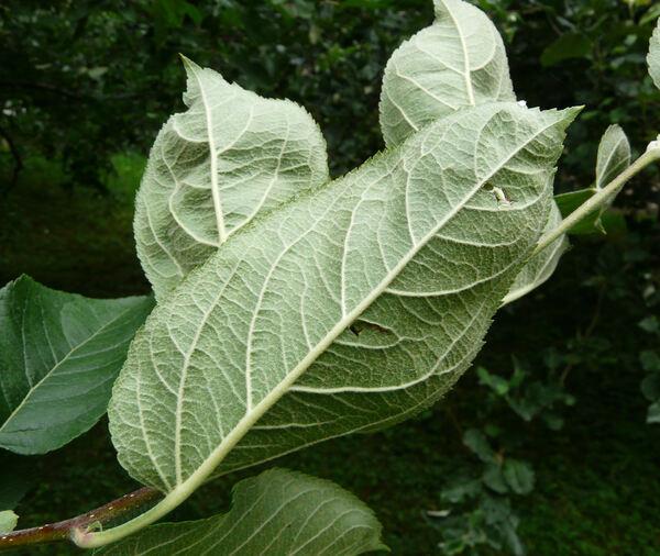 Malus domestica (Borkh.) Borkh. 'Köstlicher'