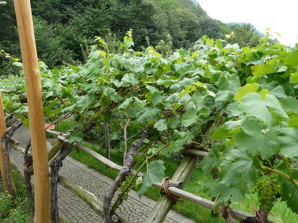 Vitis vinifera L. 'Vernatsch'