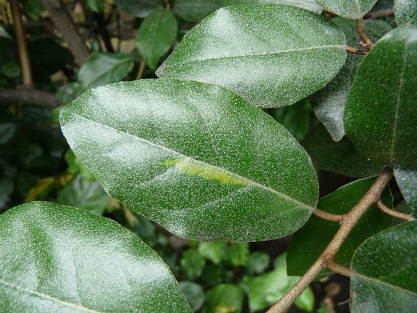 Elaeagnus ×ebbingei Door. 'Limelight'
