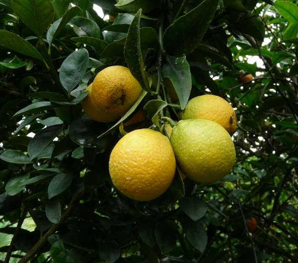 Citrus 'Thomasville Citrange'