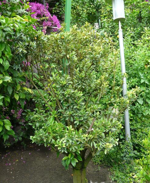 Fortunella japonica (Thunb.) Swingle