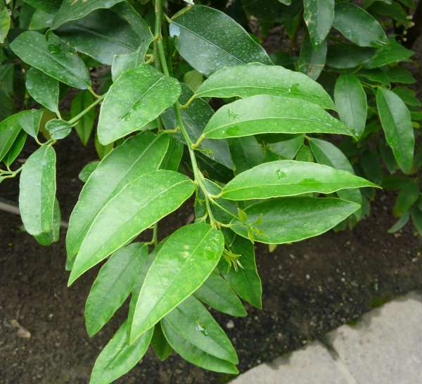 Citrus x paradisi MacFayden 'Star Ruby'