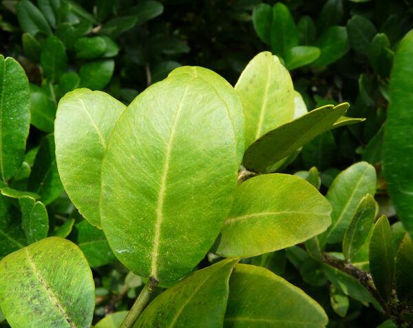 Severinia buxifolia (Poir.)Ten.