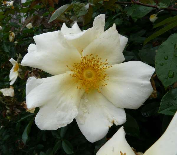 Rosa 'Mermaid'