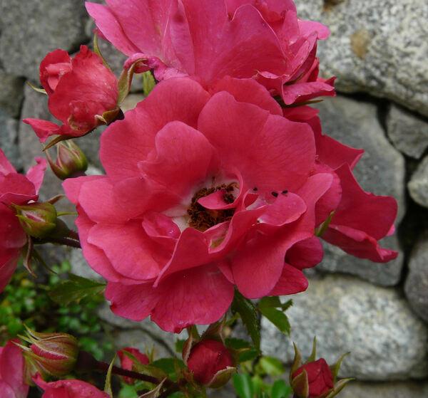 Rosa 'Heidetraum'