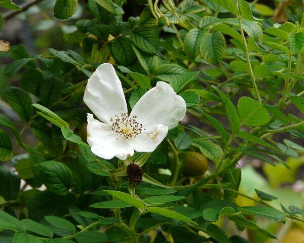 Rosa rugosa Thunb. 'Alba'