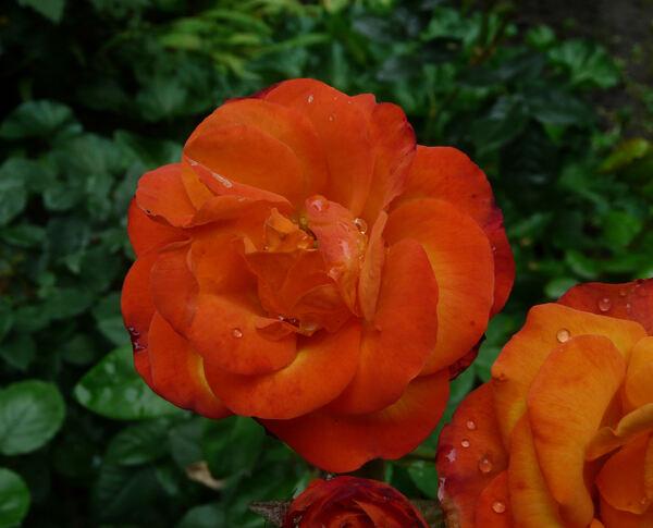 Rosa 'Sungirl'