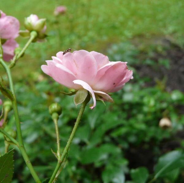 Rosa 'Fiammetta'