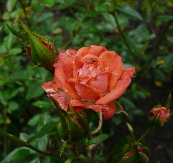 Rosa 'Petite Folie ®'