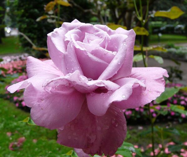 Rosa 'Violetera'