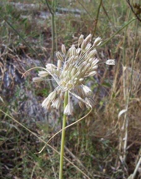 Allium tenuiflorum Ten.