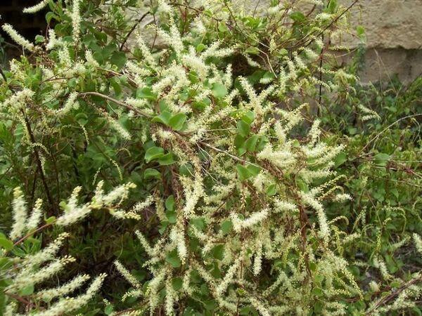 Anredera cordifolia (Ten.) Steenis