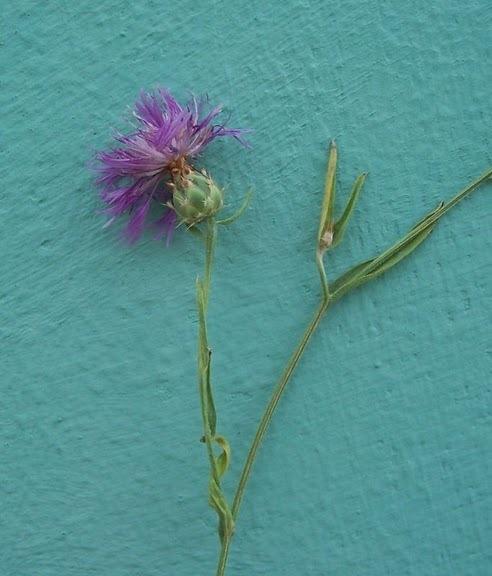 Centaurea subtilis Bertol.