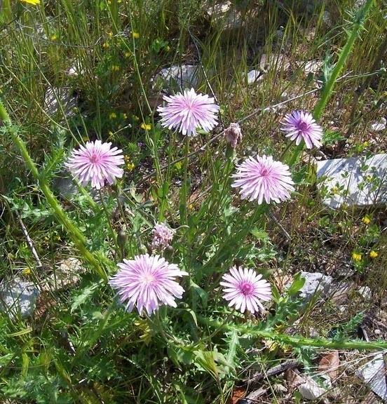 Crepis rubra L.