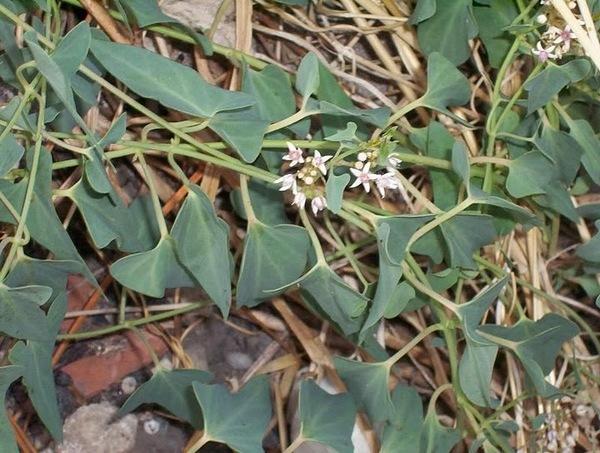 Cynanchum acutum L. subsp. acutum