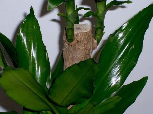 Dracaena fragrans (L.) Ker Gawl.