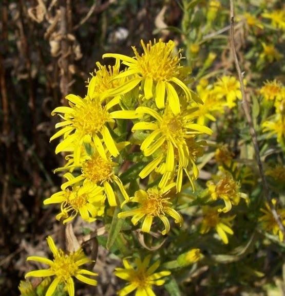 Dittrichia viscosa (L.) Greuter s.l.