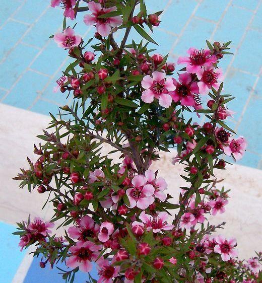 Leptospermum scoparium J. R. Forst. & G. Forst.
