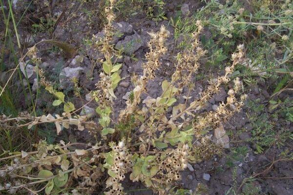 Linaria triphylla (L.) Mill.