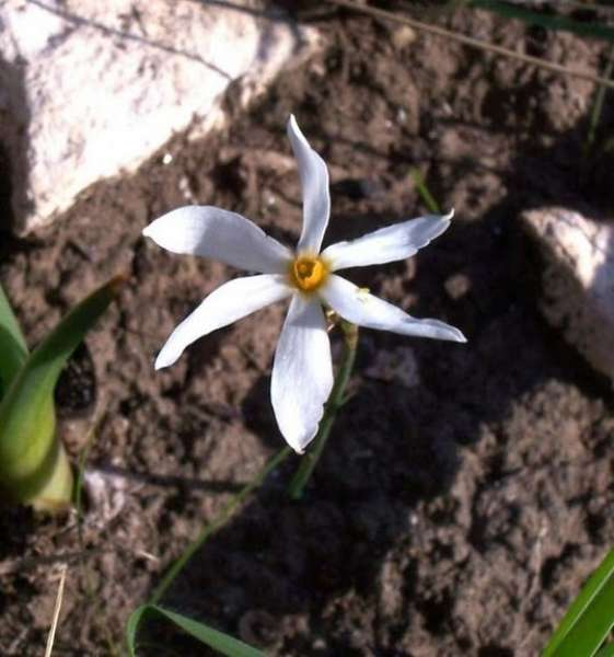 Narcissus obsoletus (Haw.) Steud.