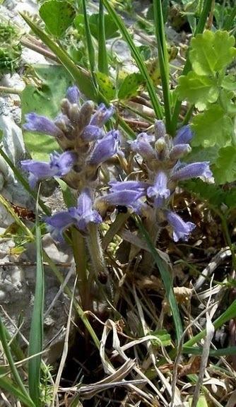 Phelipanche ramosa (L.) Pomel