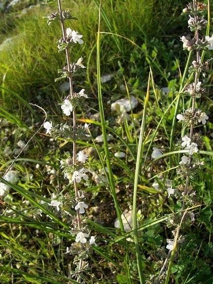 Satureja cuneifolia Ten.
