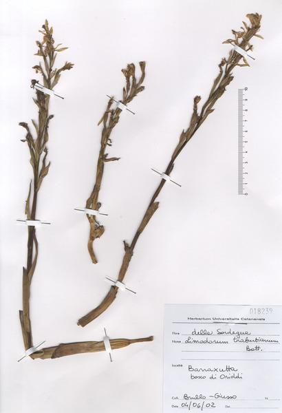 Limodorum trabutianum Batt.