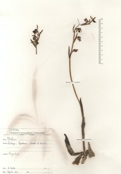 Ophrys exaltata Ten. subsp. montis-leonis (O.Danesch & E.Danesch) Soca