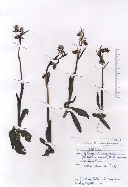 Ophrys candica (E.Nelson ex Soó) H.Baumann & Künkele