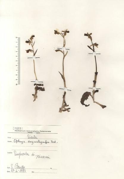 Ophrys oxyrrhynchos Tod. subsp. oxyrrhynchos