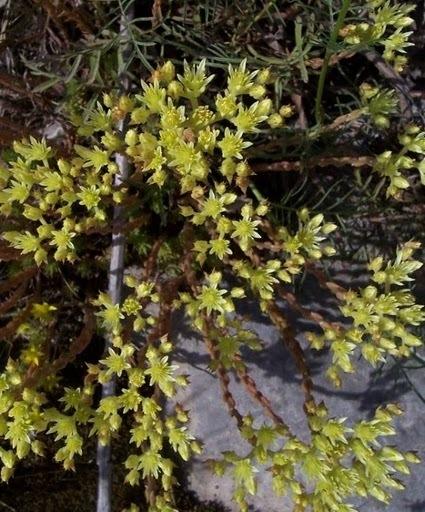 Petrosedum ochroleucum (Chaix) Niederle subsp. ochroleucum